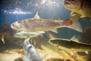 Aquaculture veterinary medicines available for salmon and other fish in Europe
