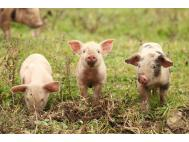 EMA news includes new referrals for paromomycin for pigs and tylosin for sheep
